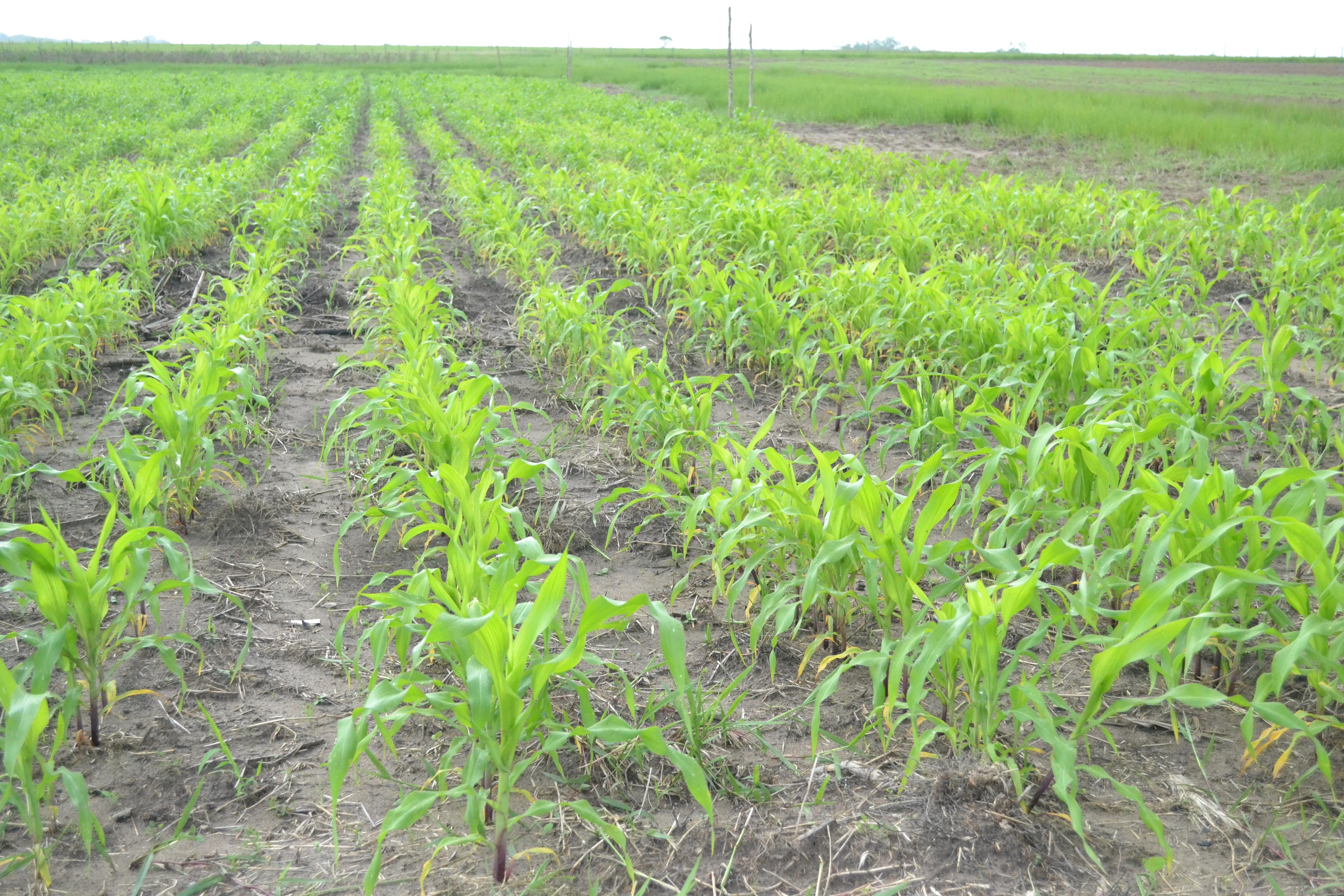 Corn growing at a farm in Ebini