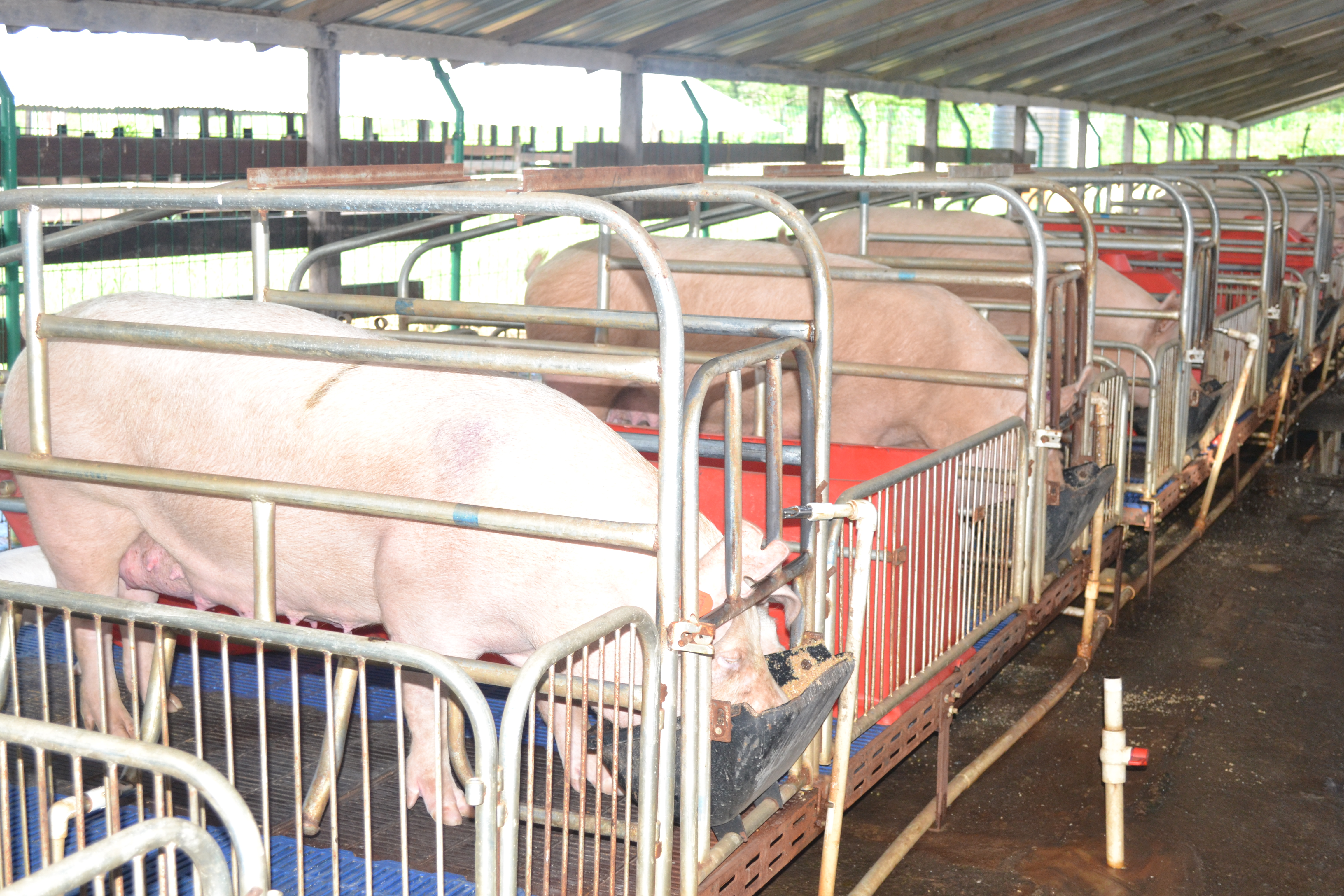 Top quality pigs reared in Guyana