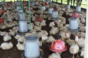 Chickens at GLDA farm