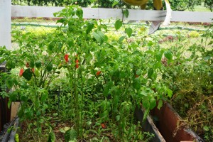 Pepper growing in NAREI's kitchen garden