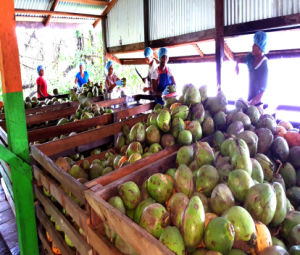 Coconuts grown on Henvil Farm