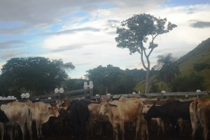 cattle-farm-in-region-9