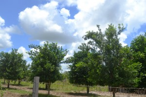 orchard-crops-under-cultivation-in-region-9