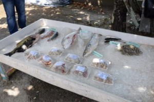a-display-of-tambaki-and-other-fish-reared-in-fresh-and-brakish-high-salinity-water-at-the-satyadeo-sawh-aquaculture-station-mon-repos