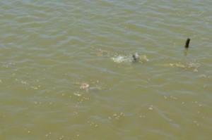 tambaki-feeding-at-the-carana-bushlot-aquaculture-farm