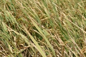 aromatic-rice-just-before-harvesting