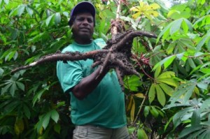 cassava-at-its-harvesting-stage-being-displayed-by-a-farmer
