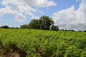 A cassava field at Parika Backdam. The government has increased emphasis on cassava production.
