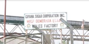 Guyana Sugar Corporation's, Wales Estate