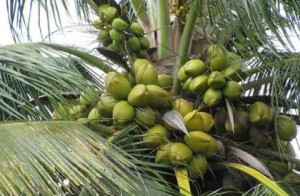 Coconuts before they are harvested