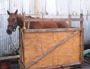 The horse was shipped in this crate that was deemed unacceptable for housing the animal.