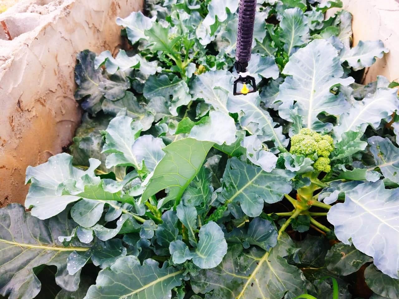 Broccoli grown at GSA