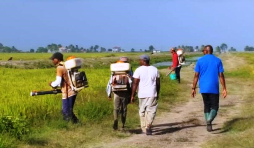 Persons heading to spray fields for paddy bug