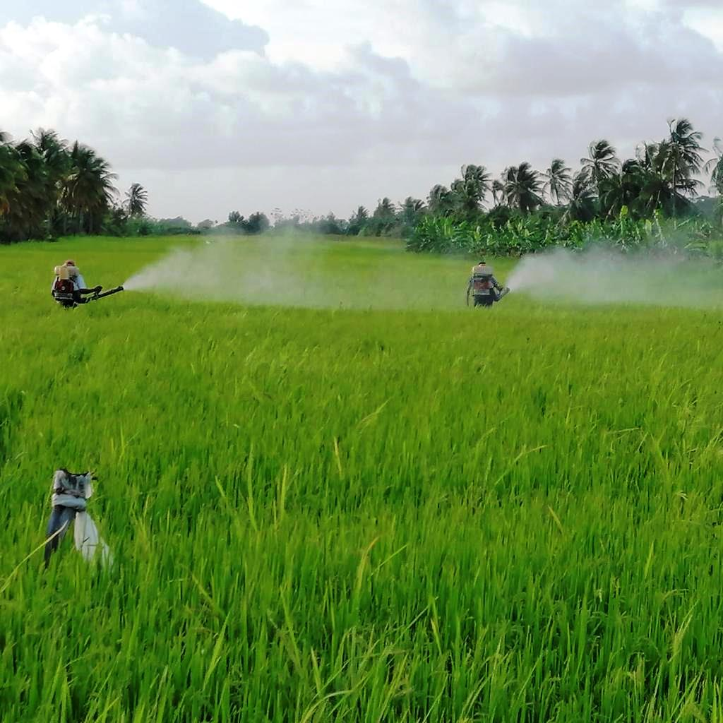 Spraying underway in Region 2 for paddy bugs